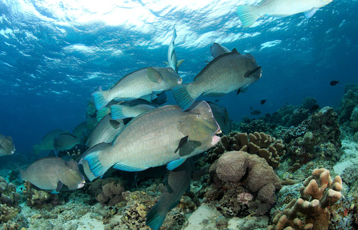 Spot the wonderfully-weird looking bumphead parrotfish