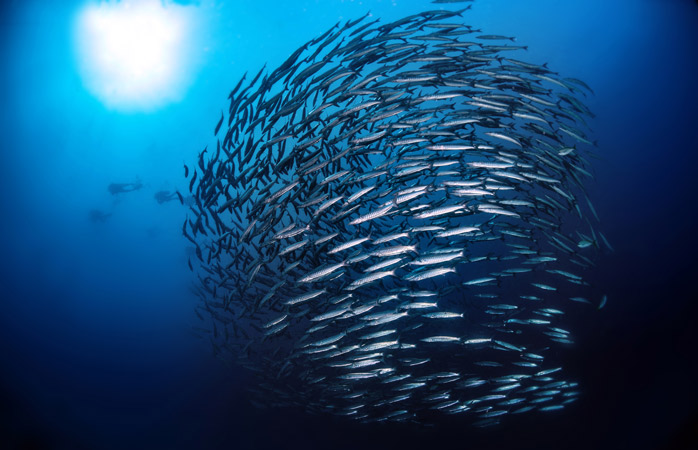 Catch the barracuda swirls in-between oil rigs diving