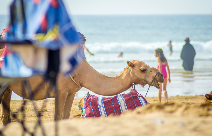 Beautiful beaches and camels in Morocco